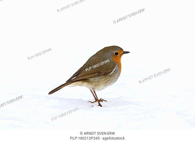 European robin (Erithacus rubecula) foraging on the ground in the snow in winter