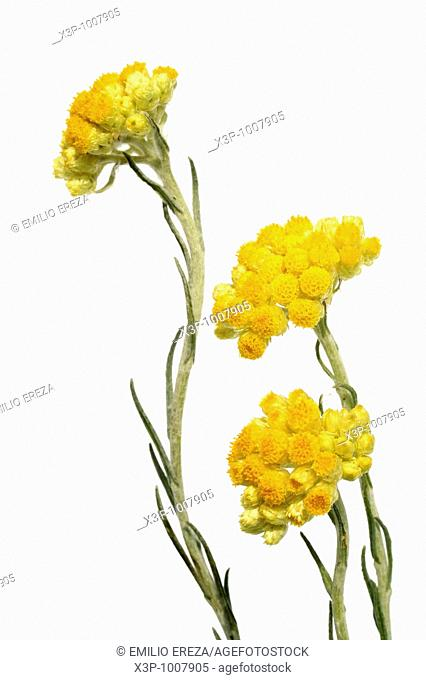 Curry plant (Helichrysum sp.)