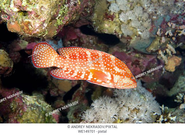 Coral Grouper (Cephalopholis miniata) swims over a coral reef scaring school of fish Sea goldie (Pseudanthias squamipinnis) and Bicolor Damselfish (Chromis...