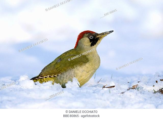 Green Woodpecker foraging on the ground with snow