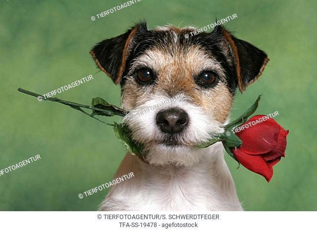 Parson Russell Terrier with rose