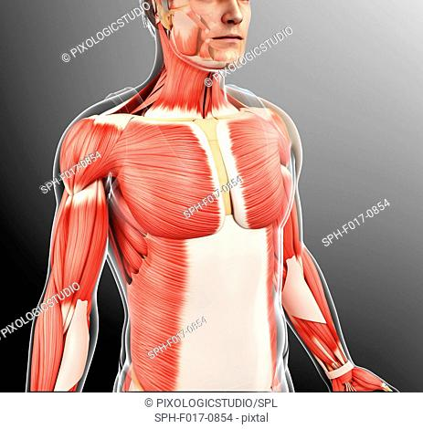 Illustration of male musculature