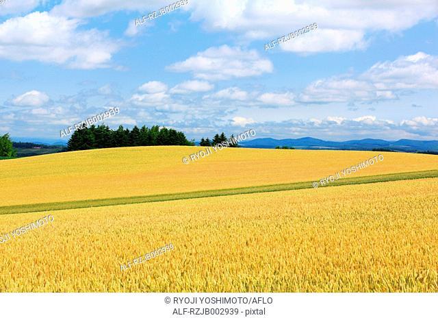 Wheat field, Hokkaido, Japan