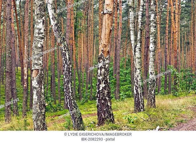 Birches (Betula) in pine forest near Roztoka, Kampinoski National Park, Poland, Europe