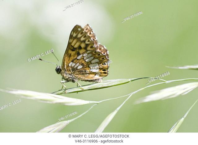 Duke of Burgundy, Hamearis lucina, only European Metalmark. Females have six legs, but males four. resident in calcareous grassland