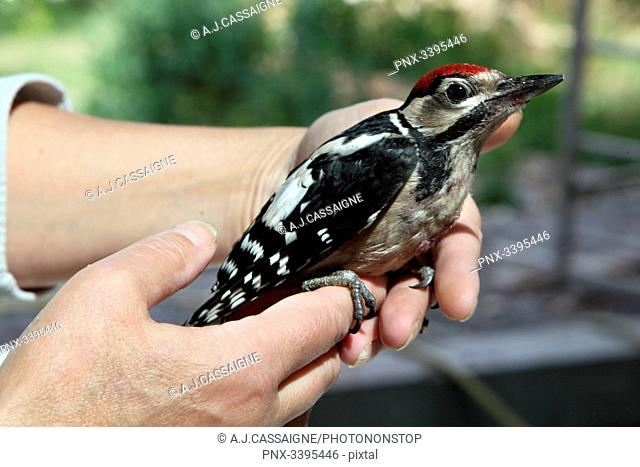 France,Young Great spotted woodpecker hold in a hand