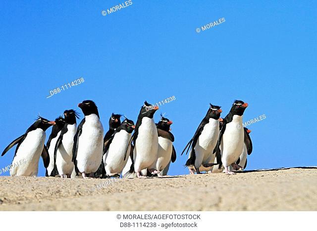 Western Rockhopper Penguin (Eudyptes chrysocome chrysocome). Pebble Island, Falkland Islands