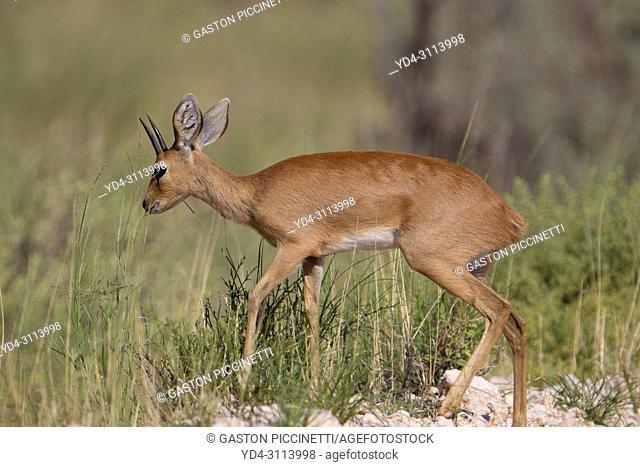 Steenbok (Raphicerus campestris). Kalahari Desert, Kgalagadi Transfrontier Park, South Africa.