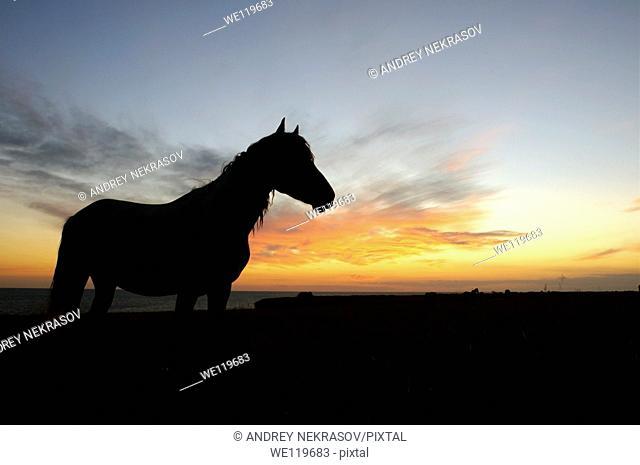 Horse in the steppe at sunset, Cape Tarhankut, Tarhan Qut, Crimea, Ukraine, Eastern Europe