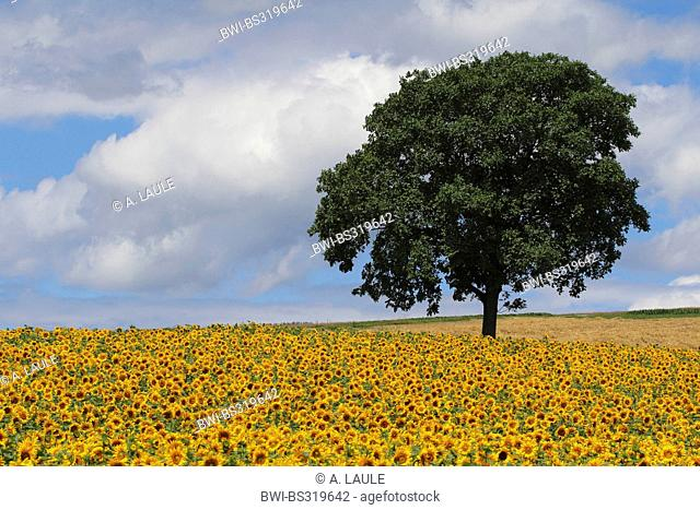 common sunflower (Helianthus annuus), sunflower field with walnut tree and clouded sky, Switzerland, Siblingen