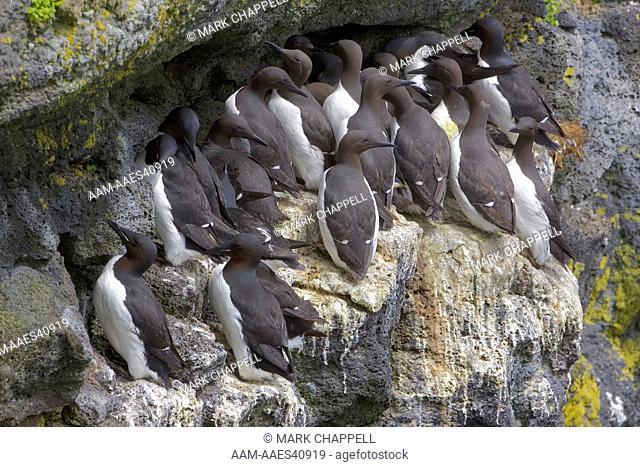 common murres (Uria aalge) and thick-billed murres (Uria lomvia), St. Paul Island, Pribilofs, Alaska