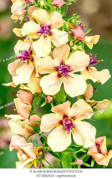 Showy Mullein 'Southern Charm' / Verbascum 'Southern Charm'