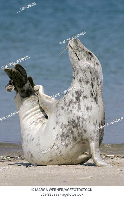 Grey Seal (Halichoerus grypus). Helgoland island, Germany