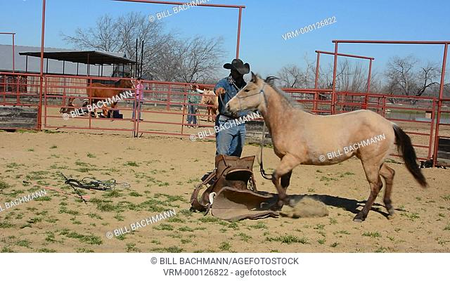 Dallas Texas Tate Ranch cowboy training 2 year old horses to put on first saddle on them for training at ranch to break them for riding  8