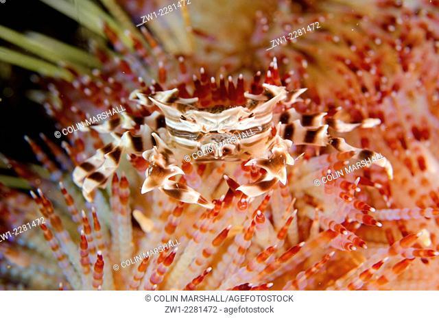 Zebra Urchin Crab (Zebrida adamsii) on Fire Urchin (Asthenosoma varium), Cannibal Rock dive site, Horseshoe Bay, Nusa Kode, south Rinca Island