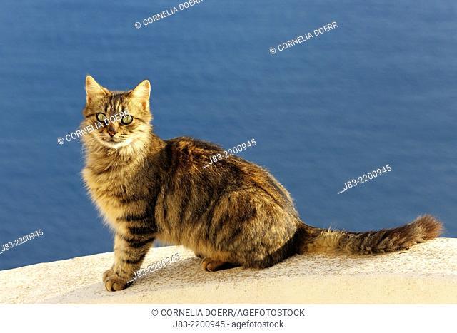 Tabby cat sitting on stairs against blue sea, long hair, Oia village, Santorini, Cyclades Island, Greek Islands, Greece, Europe