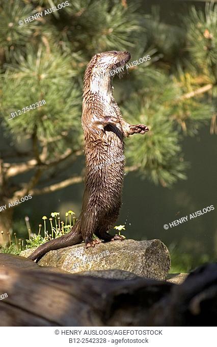 European otter Lutra lutra, France