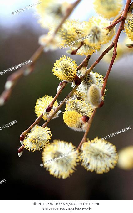 Flowering willow, salix caprea, spring time