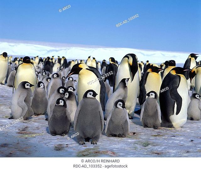Emperor Penguins Dawson Lambton Glacier Antartica Aptenodytes forsteri