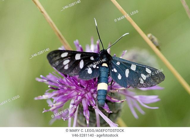 Nine-spotted, Amata phegea. Dark bluish black moth with nine white spots. 6 white spots on front wing with 3 on back. Moth exhibits Müllerian mimicry as strong...