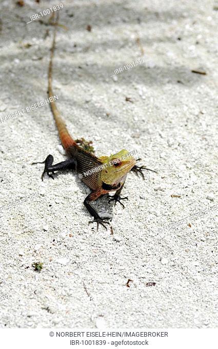 Iguana (Iguanidae), Baros Resort, The Maldives, Indian Ocean