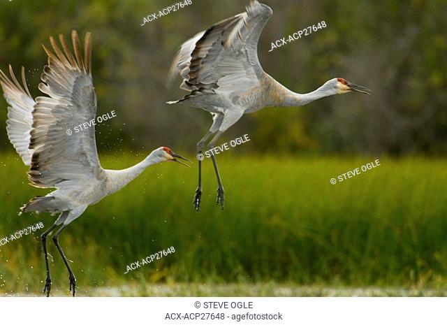 Sandhill Cranes, Grus canadensis, take flight on the shores of Anahim Lake, British Columbia, Canada