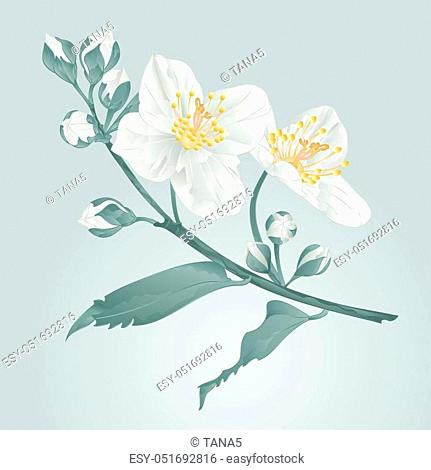 Twig jasmine flower and buds vintage blue background vector illustration