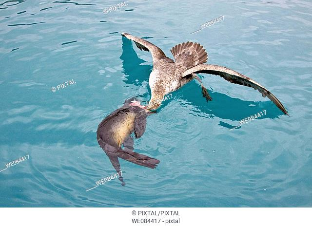 Southern Giant Petrel (Macronectes giganteus) and Northern Giant Petrel (Macronectes halli) tearing apart an Antarctic fur seal pup in the water at Grytviken on...