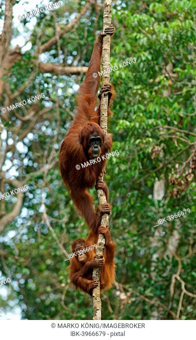 Bornean Orangutans (Pongo pygmaeus), adult female with young, Tanjung Puting National Park, Central Kalimantan, Borneo, Indonesia