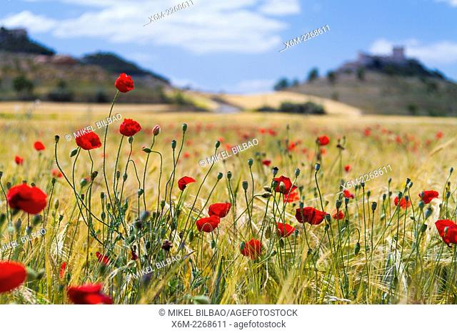 Poppies (Papaver rhoeas) in a wheat field. Peñafiel village. Ribera de Duero region. Valladolid. Castile and Leon. Spain, Europe