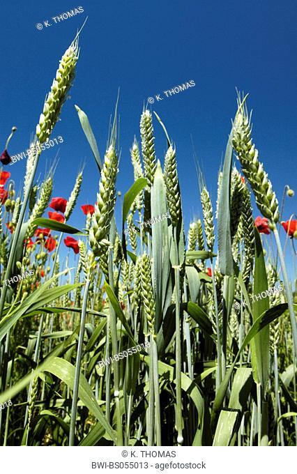 corn poppy in blossom, crops, Croatia, Istria