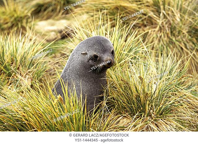 ANTARCTIC FUR SEAL arctocephalus gazella, FEMALE STANDING IN LONG GRASS