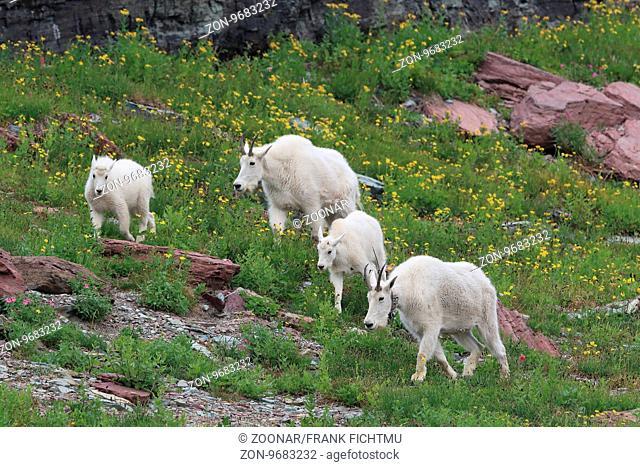 Schneeziegen Mountain Goat Glacier National Park