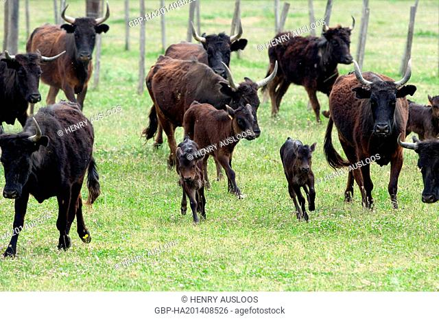 France, Camargue, cattle, Calves, Bos taurus, Running
