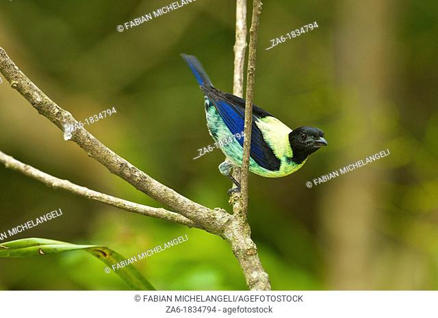 Black-headed tanager Tangara cyanoptera perched in the rain forest of northern Venezuela