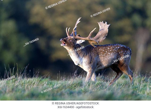 Fallow Deer Dama dama, Buck Roaring during Rut, Royal Deer Park, Klampenborg, Copenhagen, Sjaelland, Denmark