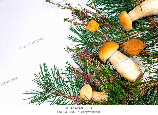 forest mushrooms on a white background with pine branches