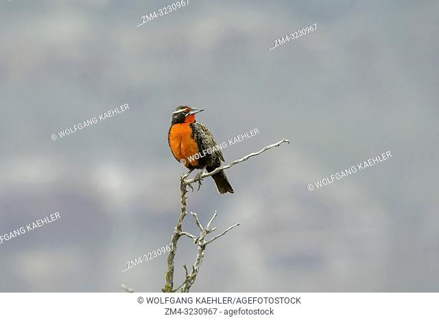 A long-tailed meadowlark (Sturnella loyca) at the Laguna Nimez Bird Sanctuary in El Calafate, Argentina