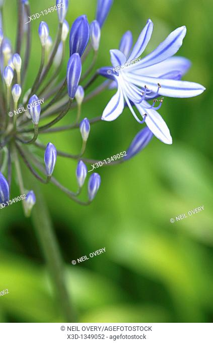 Agapanthus praecox flower, Cape Town, South Africa