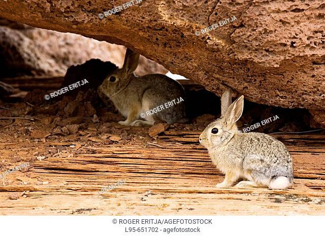 Wild American rabbits, Arizona, USA