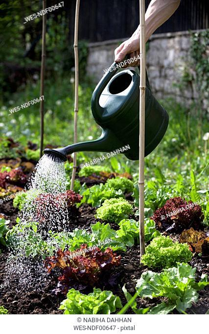 Man's hand watering heads of lettuce in garden