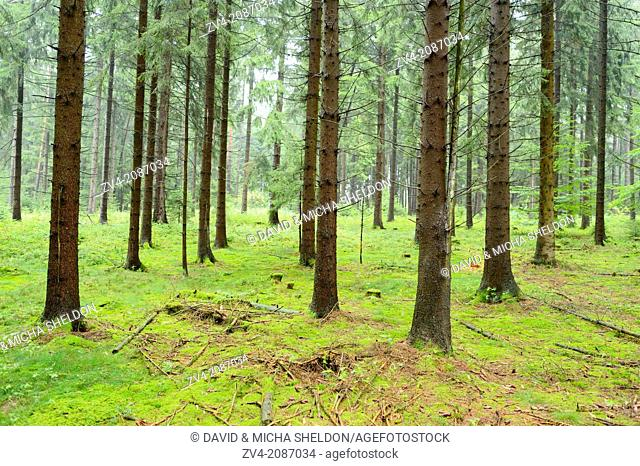 Landscape of a Norway spruce (Picea abies) forest in summer