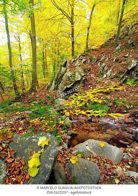 Marianegre stream. Autumn beech forest (Fagus sylvatica) at Montseny Natural Park. Barcelona province, Catalonia, Spain