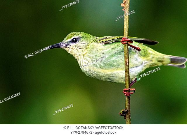 Red-legged Honeycreeper (Female) - Boca Tapada, San Carlos, Costa Rica