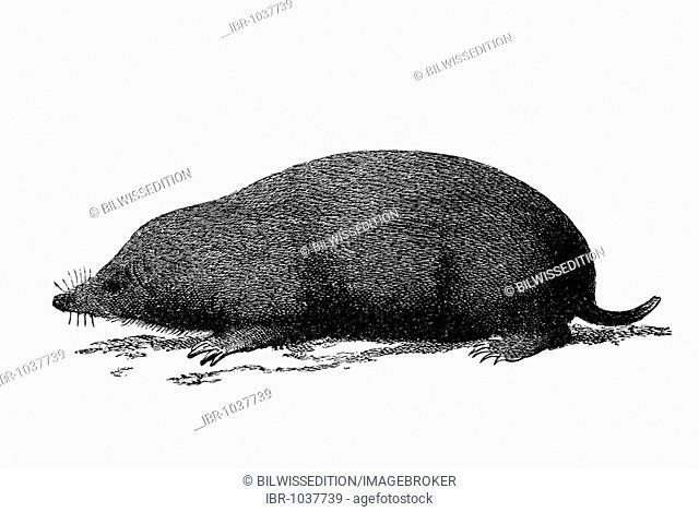 Woodcut, Mole (Talpa europaea)