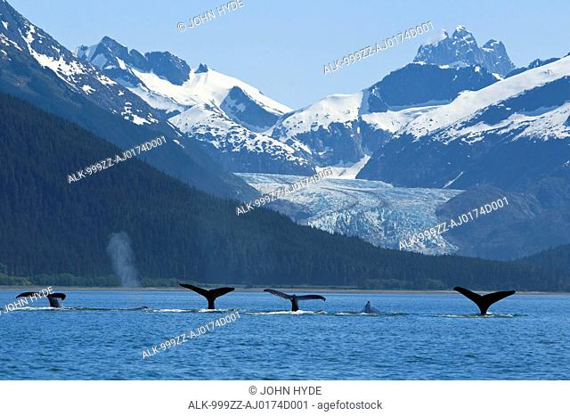 COMPOSITE: Pod of Humpback whales fluking as they feed near Eagle Beach with Herbert Glacier and Coast Range in the background, Inside Passage, Southeast Alaska