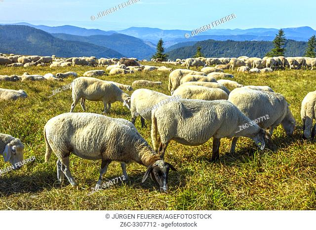 herd of sheeps grazes on the hilltop of mountain Feldberg, high Black forest Germany, Southern BHack Forest Nature Park