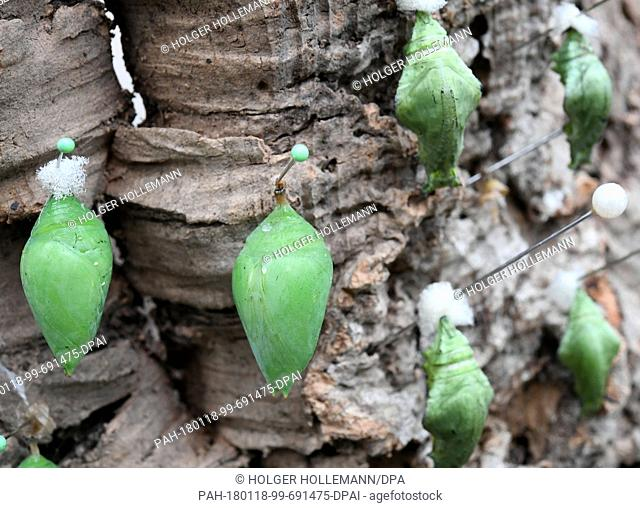 Cocoons of the Morpho peleides, also known as the Peleides blue morpho, hang from a tree bark at the Tropenschauhaus of the Herrenahausen Gardens in Hanover