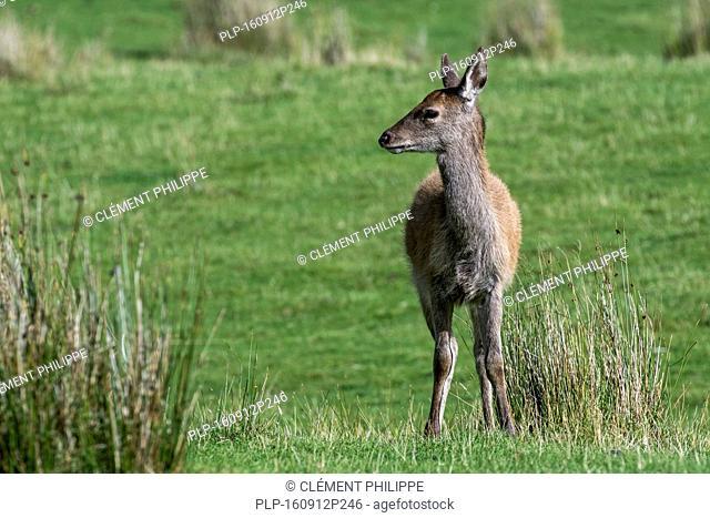 Young red deer hind (Cervus elaphus) on moorland in the Scottish Highlands, Scotland