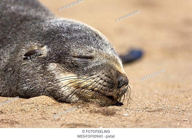South Africa, Cape Cross, Cape Fur Seal Arctocephalus pusillus, close up